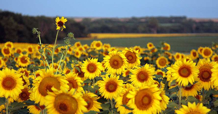 Sunflowers in North Central Kansas; Photo by Michelle Tessaro